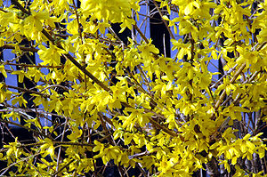 Like many deciduous plants, Forsythia flowers ...