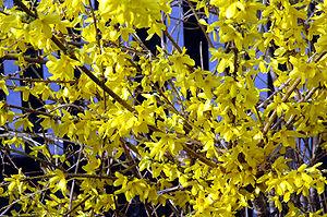 Like many deciduous plants, Forsythia flowers ...